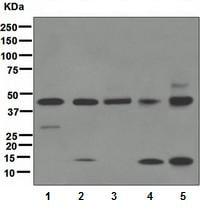 Western blot - Anti-Caspase-1 antibody [EPR4321] (ab108362)