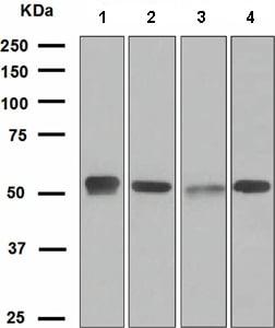 Western blot - EGR2 antibody [EPR4004] (ab108399)