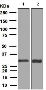 Western blot - FRAT1 antibody [EPR3900] (ab108405)