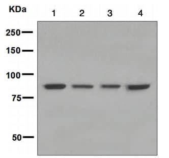 Western blot - GAB2 antibody [EPR2869] (ab108423)