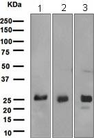 Western blot - Myelin oligodendrocyte glycoprotein antibody [EPR4282] (ab108505)