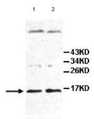 Western blot - IL17E antibody (ab108530)