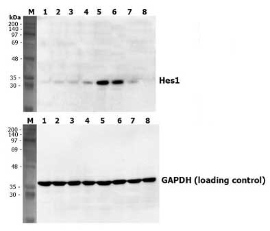 Functional Studies - Jagged1 protein (ab108575)
