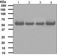 Western blot - hHR23A antibody [EPR4818] (ab108592)