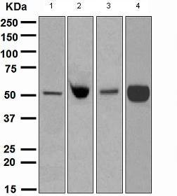 Western blot - EN1 / Engrailed 1 antibody [EPR3282] (ab108598)