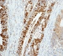 Immunohistochemistry (Formalin/PFA-fixed paraffin-embedded sections) - Anti-Trefoil Factor 3  antibody [EPR3974] (ab108599)