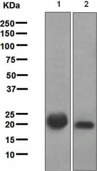 Western blot - Ras antibody [EPR3255] (ab108602)