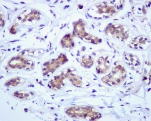 Immunohistochemistry (Formalin/PFA-fixed paraffin-embedded sections) - GRP94 antibody [EPR3988] (ab108606)
