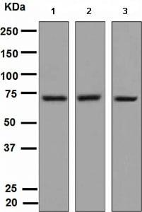 Western blot - TRIM29 antibody [EPR3494] (ab108627)