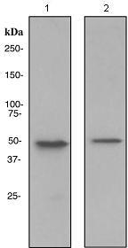 Western blot - TIP49A antibody [EPR4143] (ab108927)
