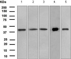Western blot - PON3 antibody [EPR2902(2)] (ab108964)