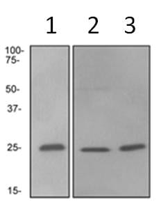 Western blot - Rab4 antibody [EPR3042] (ab108974)