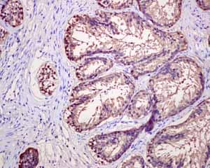 Immunohistochemistry (Formalin/PFA-fixed paraffin-embedded sections)-Anti-Prostatic Acid Phosphatase antibody [EPR4067](ab109004)