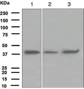 Western blot - FDPS antibody [EPR4628] (ab109007)