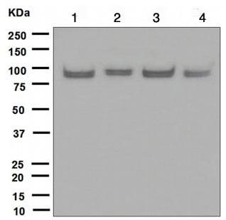 Western blot - UBF1 antibody [EPR2742] (ab109011)
