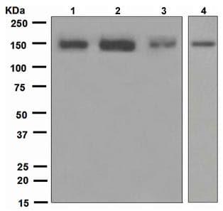 Western blot - Flightless I antibody [EPR4202(2)] (ab109015)
