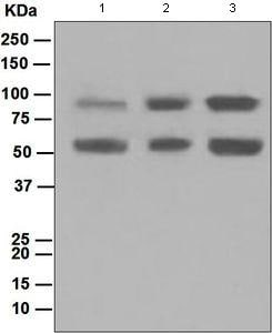 Western blot - DCAMKL1 antibody [EPR6085] (ab109029)