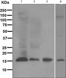 Western blot - Ube2L6 antibody [EPR4267(2)] (ab109086)