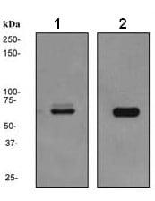 Western blot - NUR77 antibody [EPR3209] (ab109180)