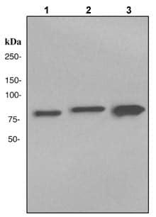 Western blot - Transglutaminase 2 antibody [EP2957] (ab109200)