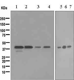 Western blot - CD16 antibody [EPR4333] (ab109223)