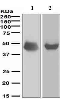 Western blot - NeuroD1 antibody [EPR4008] (ab109224)