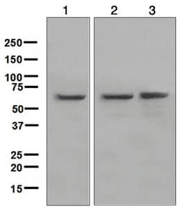 Western blot - YY1 antibody [EPR4651] (ab109228)