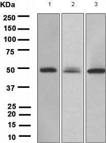 Western blot - PAX6 antibody [EPR3352(2)] (ab109233)