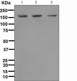 Western blot - SMC1 antibody [EPR2879(2)] (ab109238)