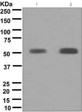 Western blot - GATA2 antibody [EPR2822(2)] (ab109241)