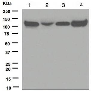 Western blot - KAP1 antibody [EPR5216] (ab109287)