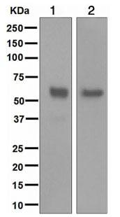 Western blot - NETO2 antibody [EPR3497] (ab109288)