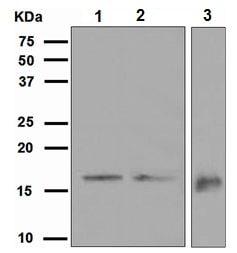 Western blot - GABARAP antibody [EPR4806] (ab109299)