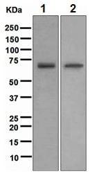 Western blot - NR2C2 antibody [EPR1773(2)] (ab109301)