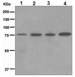 Western blot - GRK3 antibody [EPR2041(2)] (ab109303)