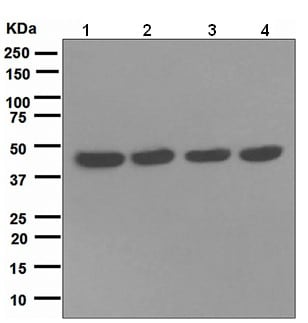 Western blot - NUDC antibody [EPR5073] (ab109318)