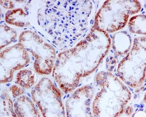 Immunohistochemistry (Formalin/PFA-fixed paraffin-embedded sections) - TRAP1 antibody [EPR5381] (ab109323)