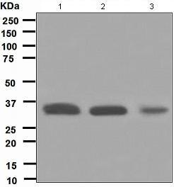 Western blot - HUS1 antibody [EPR5132] (ab109371)