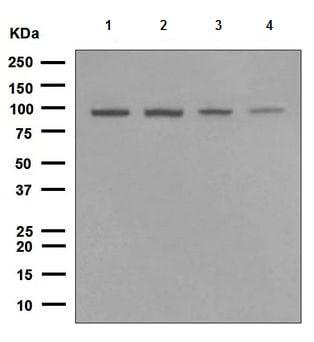 Western blot - TNPO3 antibody [EPR5264] (ab109386)