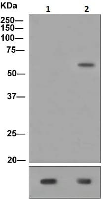 Western blot - Tau (phospho T50) antibody [EPR2396(2)] (ab109392)