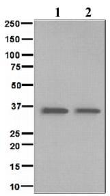 Western blot - BNIP3L antibody [EPR4033] (ab109414)