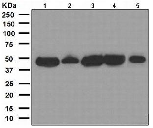 Western blot - Cdc37 antibody [EPR4934] (ab109419)