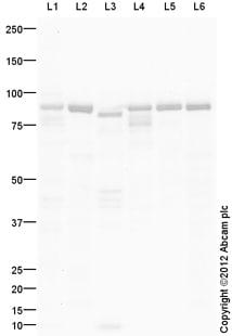 Western blot - Anti-Mitofilin antibody (ab109424)