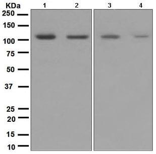 Western blot - Ionotropic Glutamate receptor 4 antibody [EPR2512(2)] (ab109431)