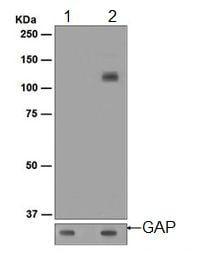 Western blot - GAP antibody [EPR2620(2)] (ab109465)