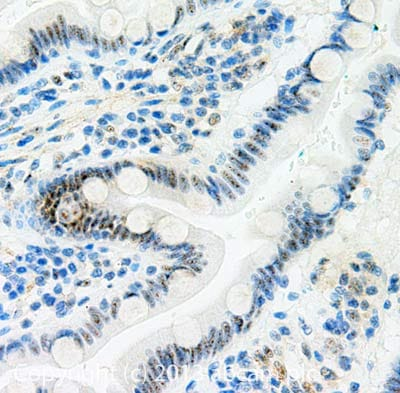 Immunohistochemistry (Formalin/PFA-fixed paraffin-embedded sections) - Anti-SON antibody (ab109472)