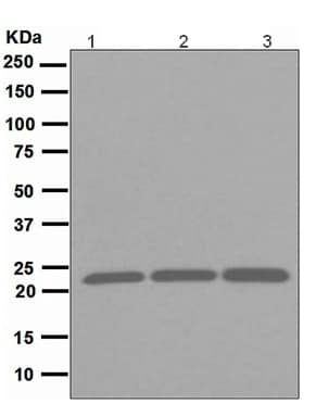 Western blot - Peroxiredoxin 1 antibody [EPR5433] (ab109498)