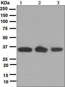Western blot - ING2 antibody [EPR4597] (ab109504)