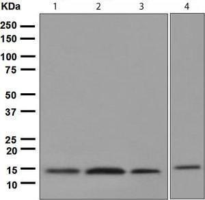 Western blot - Cystatin C antibody [EPR4413] (ab109508)