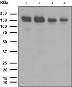Western blot - Timeless antibody [EPR5275] (ab109512)